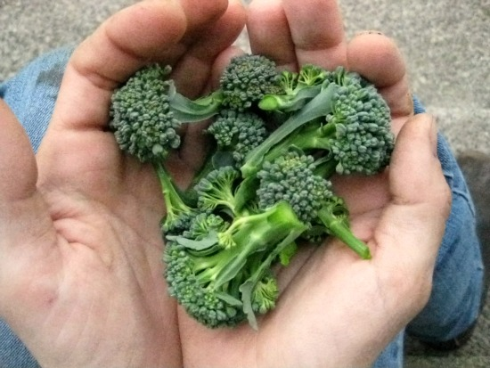 The Great Broccoli Harvest