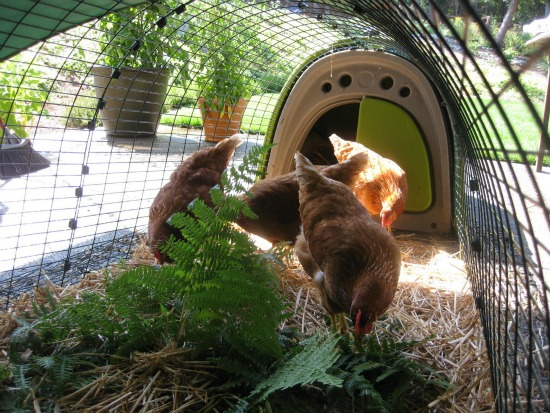 What to do With Chickens When It's 100 Degrees Out