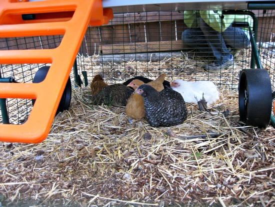 assembling a chicken coop
