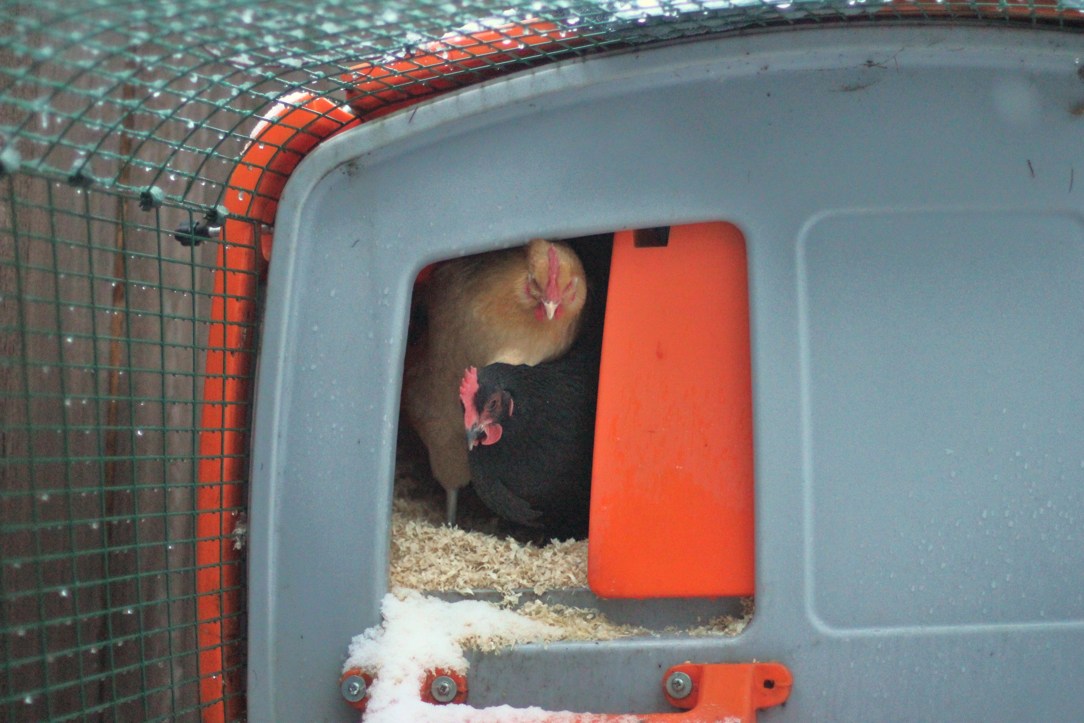 Do Chickens Like Snow?