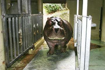 Guess the Hippos' Weight, Win a Bucket of Zoo Doo