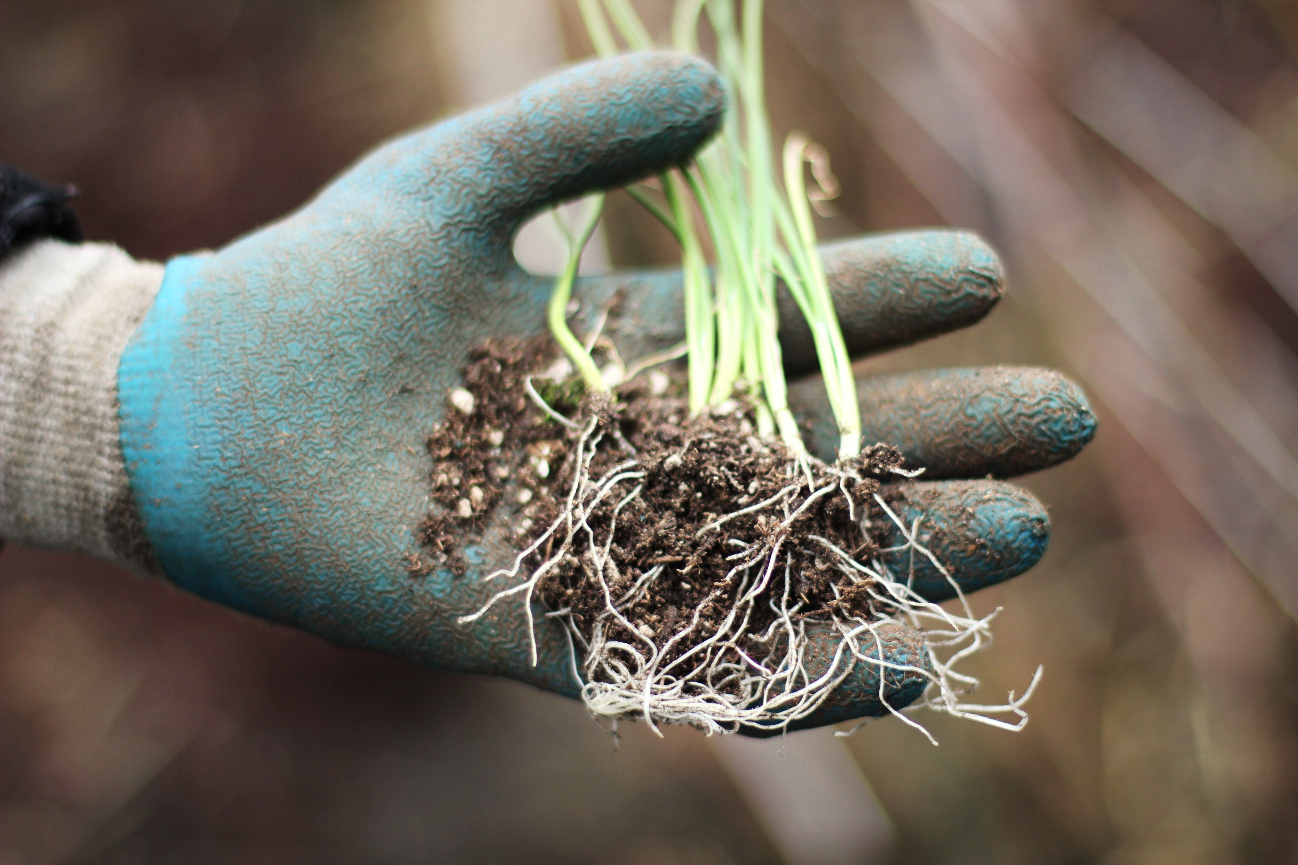 How to Grow Your Own Food: Planting Onion Seedlings