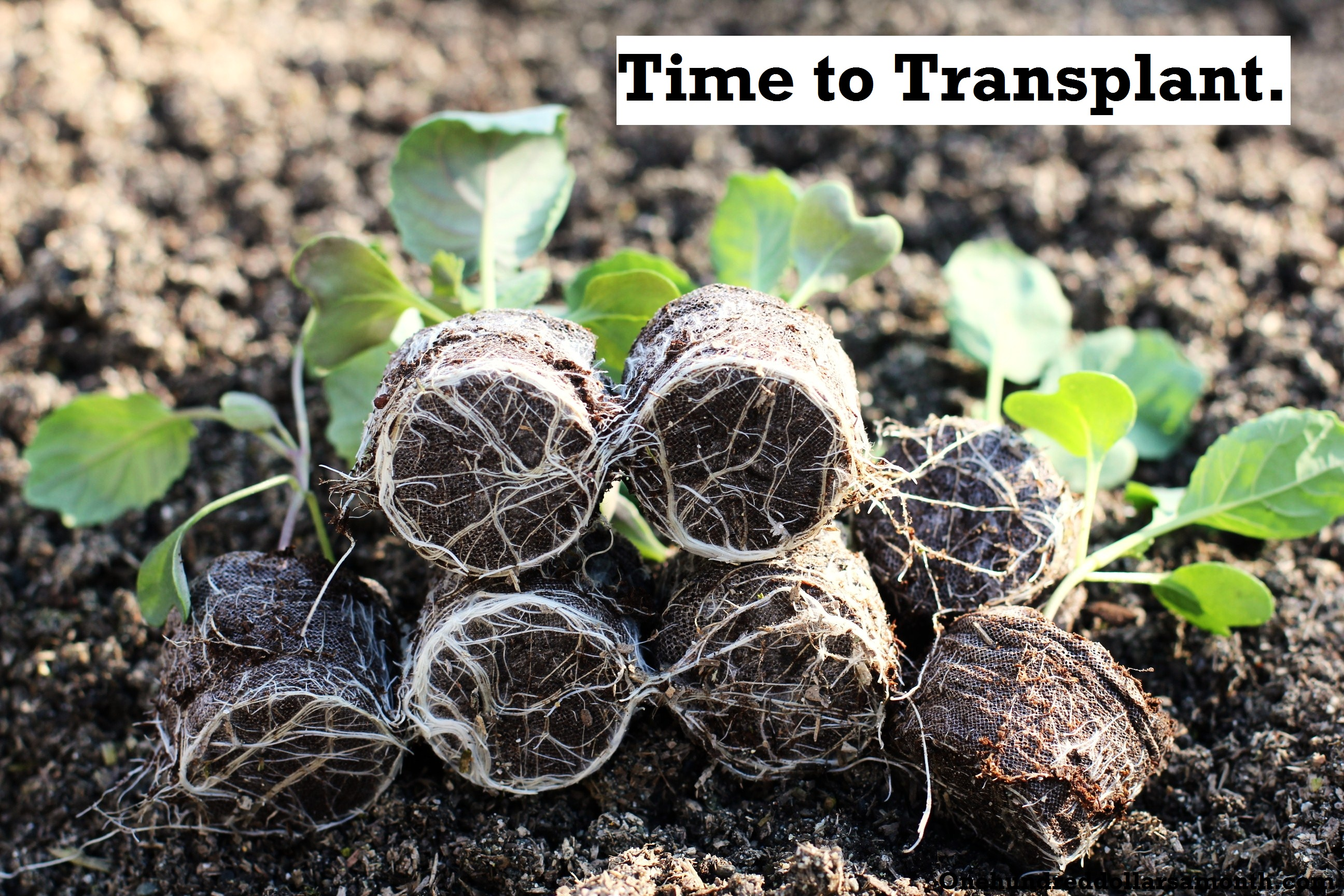 How to Grow Your Own Food: Transplanting Seedlings to the Garden