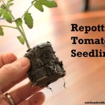 how to grow your own food repotting tomato seedlings
