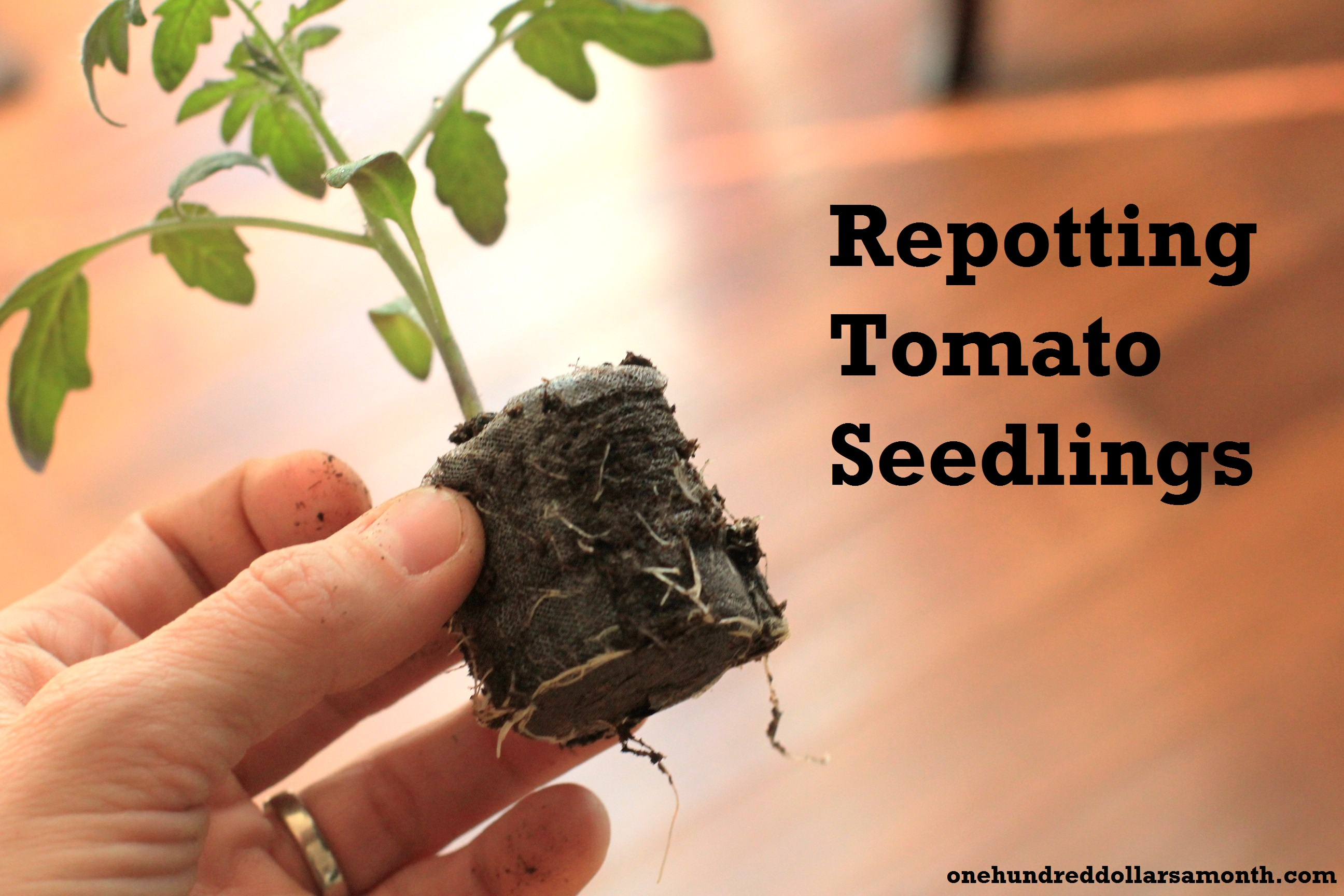 How to Grow Your Own Food: Repotting Tomato Seedlings