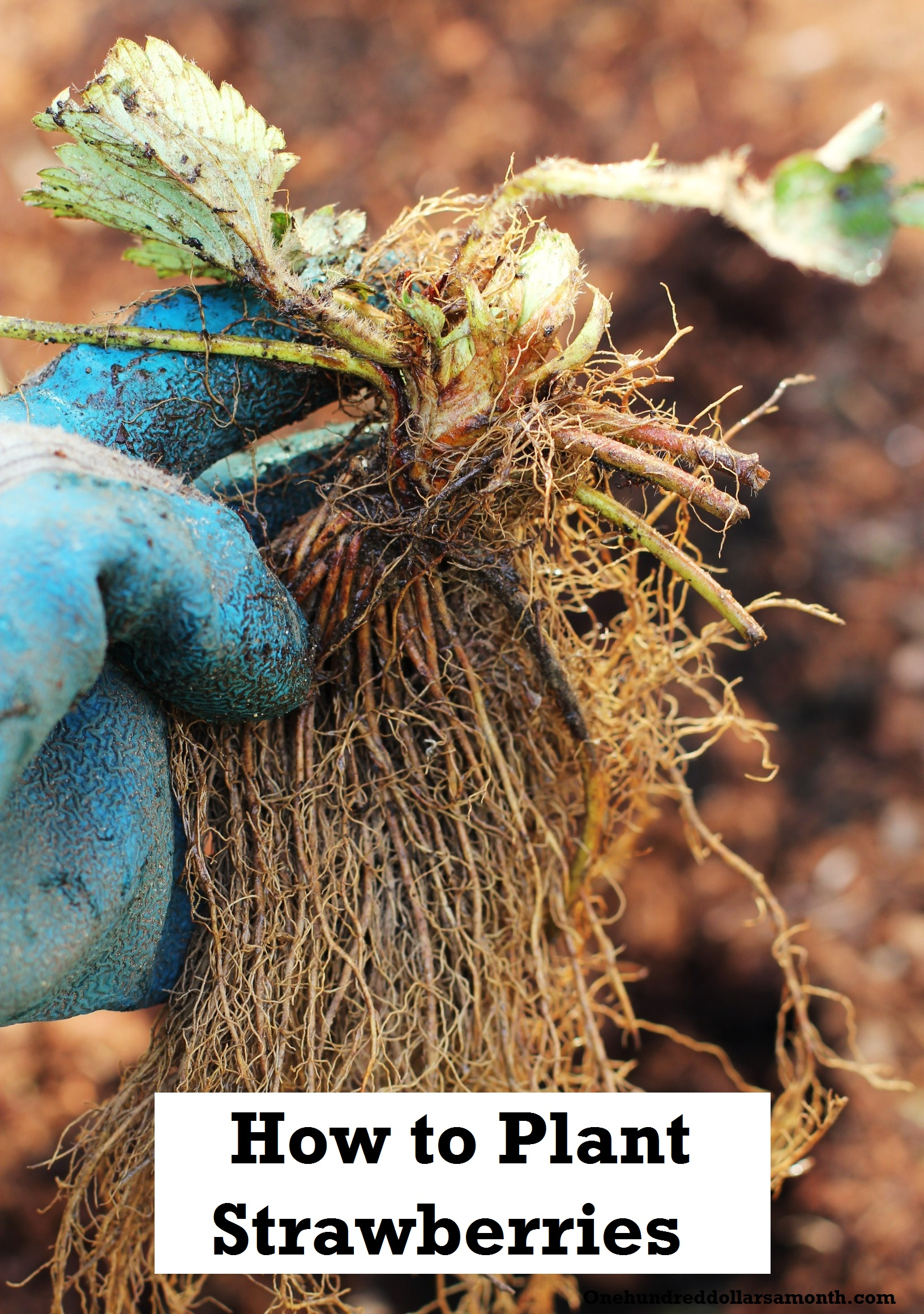How to Grow Your Own Food: How to Plant Strawberries