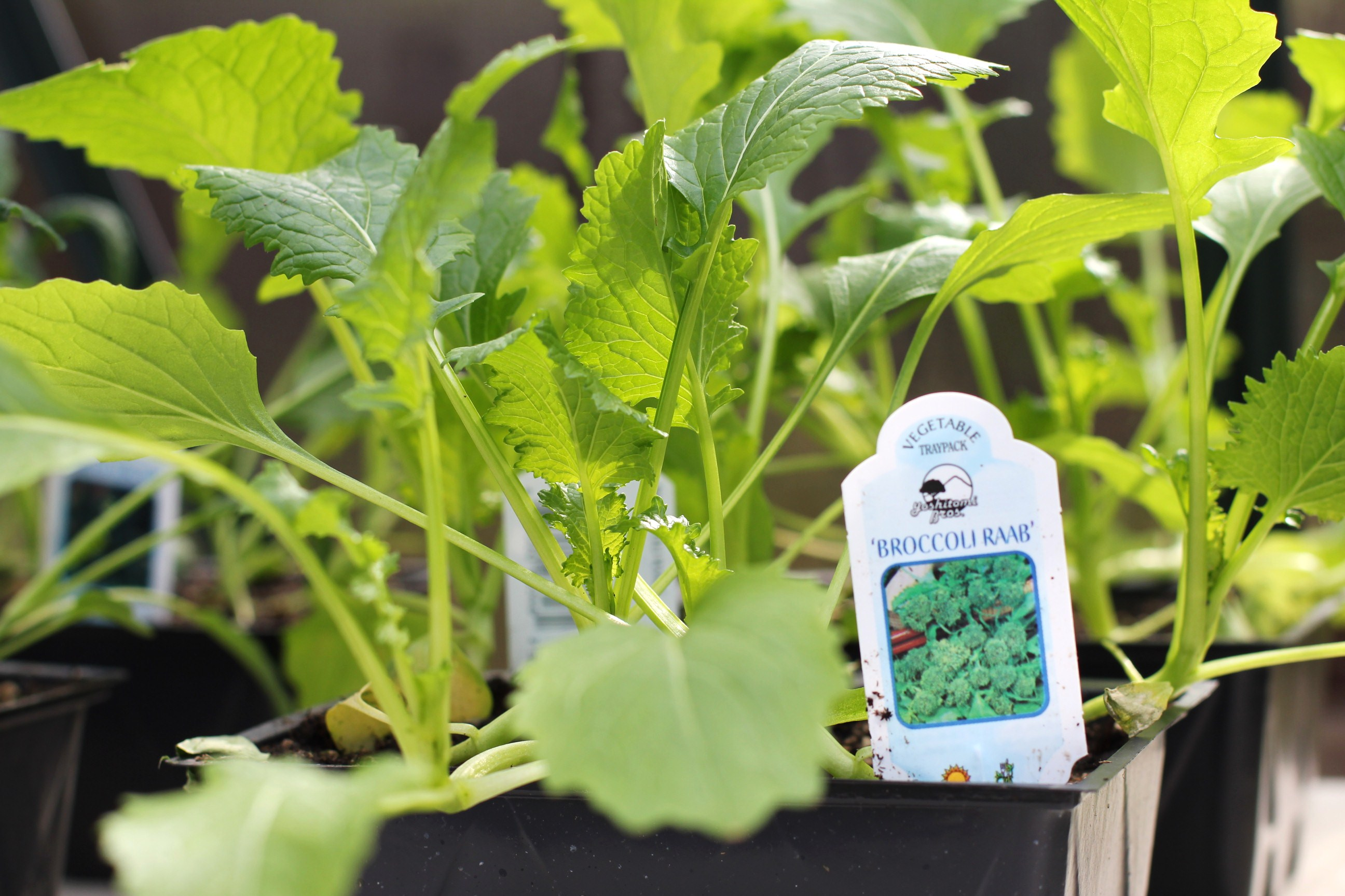 How to Grow Food In a Greenhouse: Planting Vegetable Starts