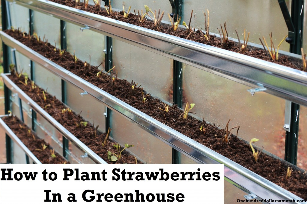 How To Grow Food In A Greenhouse Planting Strawberries In