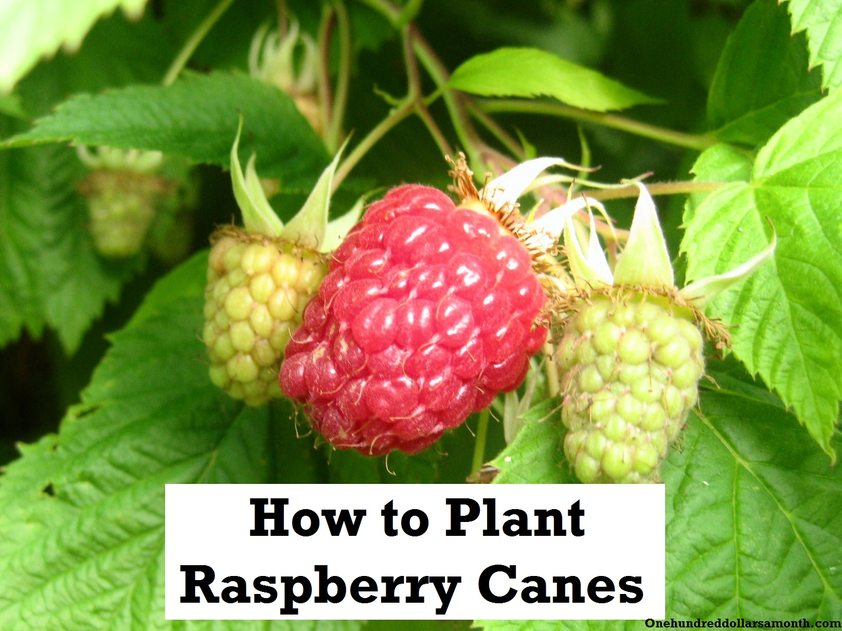 How to Grow Your Own Food: How to Plant Raspberries / Raspberry Canes