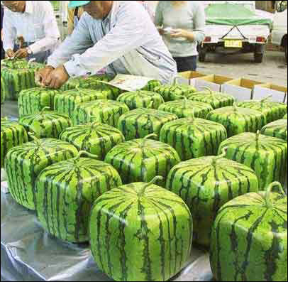 Square Watermelons?  Oh I'll Have to Try This!