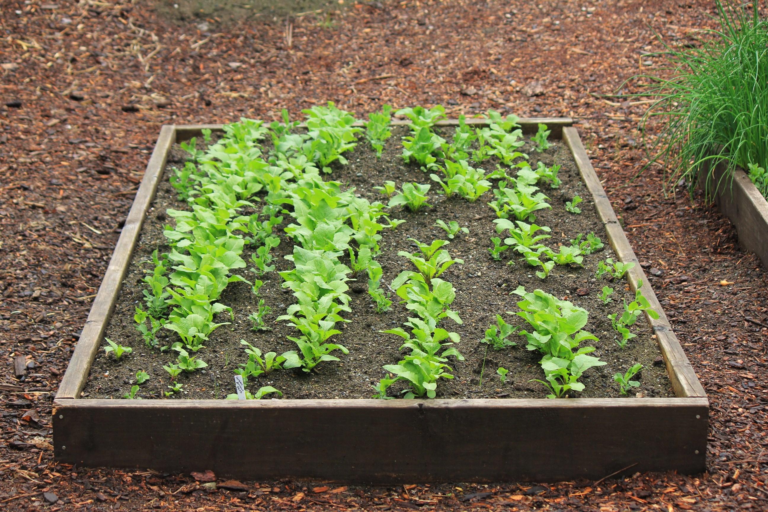 How to Transplant Pea Seedlings