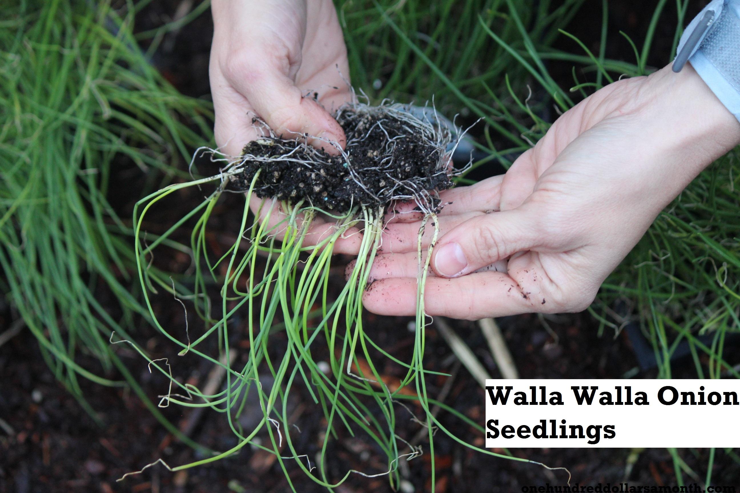 How to Grow Your Own Food: Mavis Plants Onions In The Garden, Again