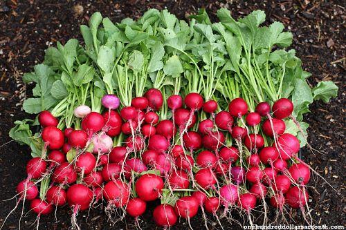 Crimson Radish picture