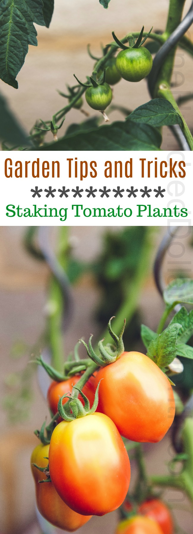 Garden Tips and Tricks – Staking Tomato Plants