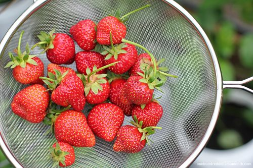 UPDATE – How to Grow Food In a Greenhouse: Planting Strawberries in Gutters