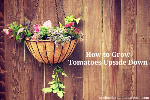 Gardening Tips and Tricks – How to Grow Tomatoes Upside Down