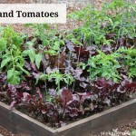 companion planting beets and tomaotes