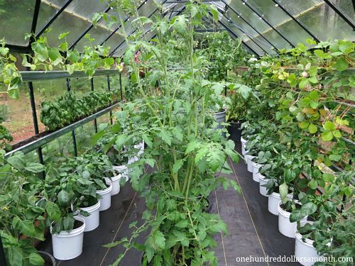 How to Grow Food in a Greenhouse – Tomatoes, Basil, Cucumbers and Peppers