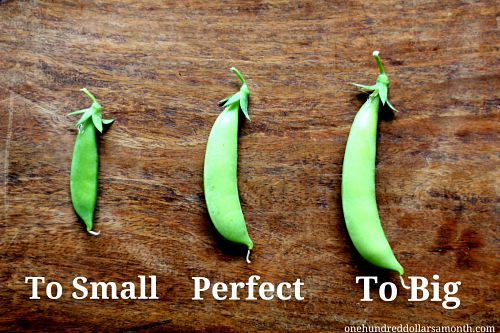When to pick sugar snap peas