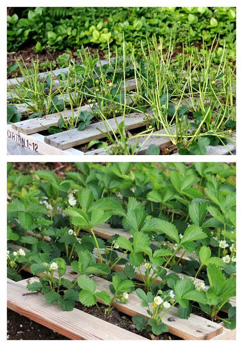 Mavis Garden Blog – Something is Eating My Strawberry Plants