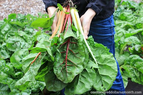 Sharing the Bounty From Your Garden – Rainbow Swiss Chard