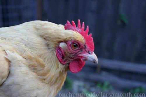 Raising Backyard Chickens – Buff the Wayward Chicken Update