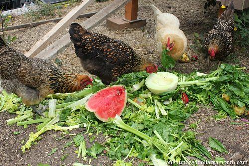 Backyard Chicken Farming By Bobby Bicknell On Prezi