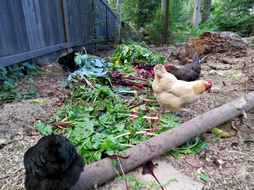 As The Coop Turns – Help! My Chicken is Missing