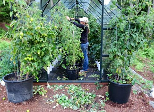Mavis Garden Blog – Tomato Blight
