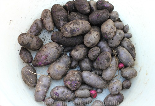Recipe – Roasted Beet, Potato, and Walnut Salad