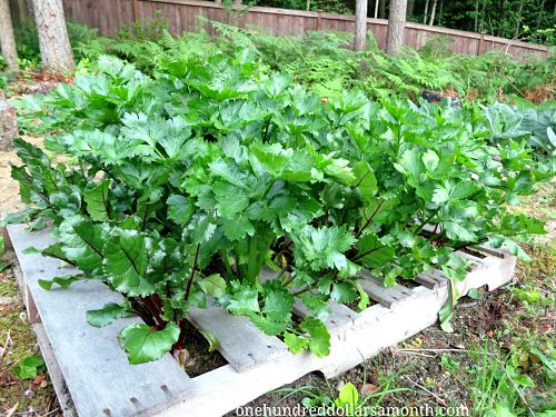 How To Grow Your Own Food   Recycled Wood Pallet Garden Update   One  Hundred Dollars A Month