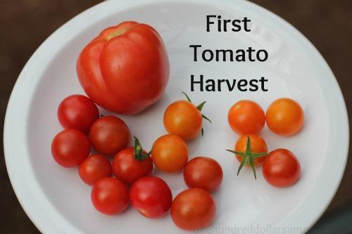 Mavis Garden Blog – First Tomato Harvest of the Season