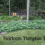 growing heirloom pumpkins
