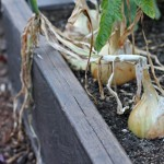 how to harvest store onions