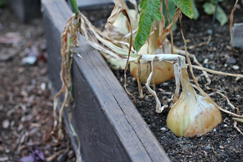 Mavis Garden Blog – How to Harvest and Store Onions