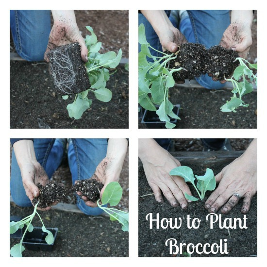 how to plant broccoli