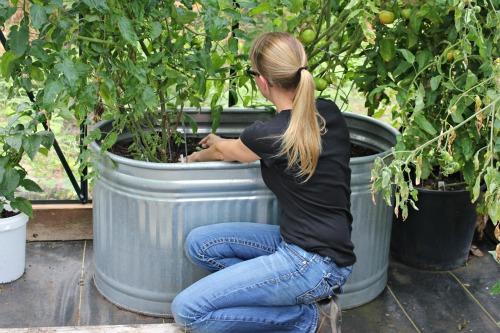 Mavis Garden Blog – Planting Basil in the Greenhouse for a Fall Harvest