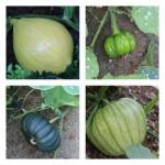 pictures of heirloom pumpkins