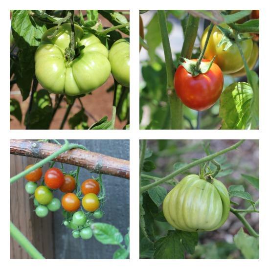 Mavis Garden Blog – Basil and Heirloom Tomatoes