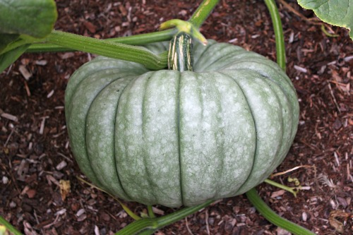Pumpkin Jarrahdale HEIRLOOM Seeds picture