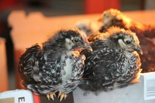 Raising Backyard Chickens – Baby Chicks 3 Week Check Up