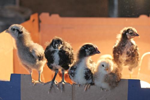 Raising Backyard Chickens – Baby Chicks 2 Week Check Up