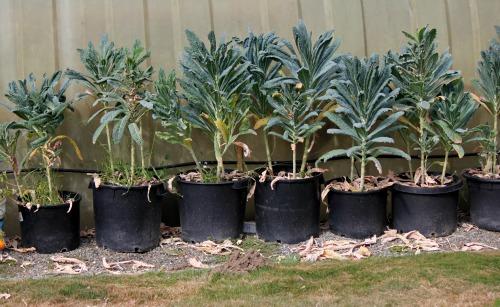 how to grow kale in australia