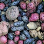 grow red white and blue potatoes