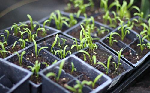greenhouse spinach growing vegetables lettuce romaine garden grow well mavis onehundreddollarsamonth
