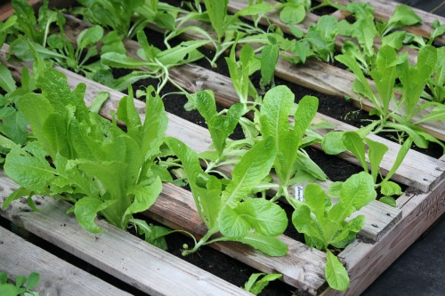 Growing Lettuce Stages The romaine lettuce is growingLettuce Growing Stages