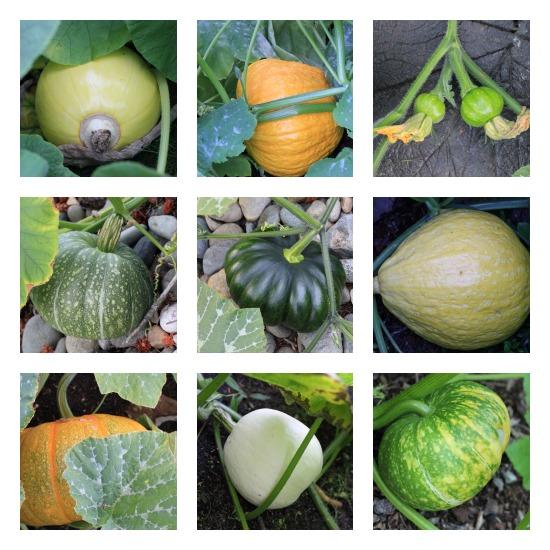 heirloom pumpkin pictures