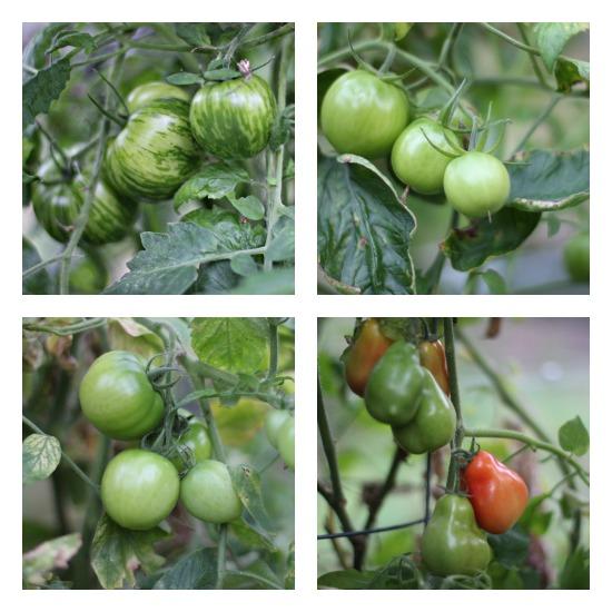 Mavis Garden Blog – Growing Vegetables in a Greenhouse