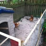 Chicken Coop Ideas – Turn a Kids Playhouse into a Chicken Coop
