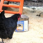 Raising Backyard Chickens – Flock Blocks and Leaves